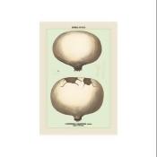 Edible Fungi: Giant Puff-Ball Print (Canvas 24x36)