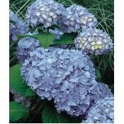 Hydrangea, Nikko Blue 1 Plant (4