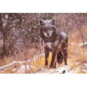 Black Wolf Poster Print by Gary Crandall (10 x 14)
