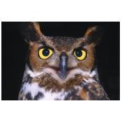 Portrait Of Great Horned Owl PosterPrint