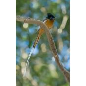 Paradise-Flycatcher bird Ankarafantsika Madagascar Poster Print by Kevin Schafer